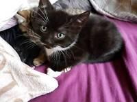 Black kitten with white socks.