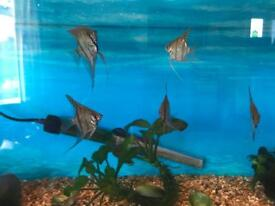13 Angelfish for sale £30