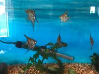 13 Angelfish for sale £30