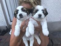 La-chon pups for sale - one male left.