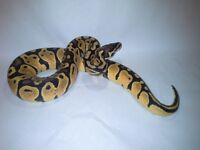 Last Few Royal Python Babies for Sale