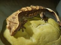 Lovely male dark based harlequin crested gecko with awesome lineage and structure.