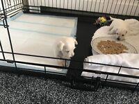 Westie x schnauzer puppy