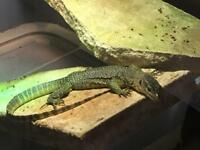 Mangrove monitors for sale