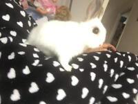 Netherland dwarf rabbit bunny