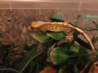 Many Various Crested Geckos Males/Females/Unsexed