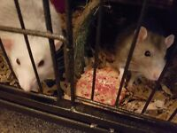 2 male rats & cage & lots of accessories in need of a very loving home