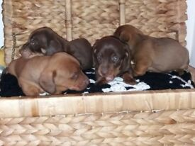 Miniature daschound puppies for sale