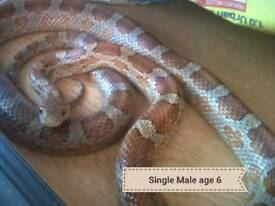 Corn snake for sale. Collection only.