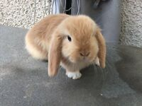 Stunning mini lops ready for reserve * ALL SEXED *