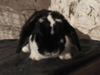Handsome black butterfly mini lop Buck for sale