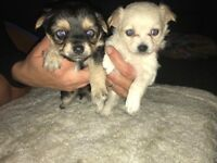 2 Beautiful chihuahua Puppies.
