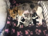 Beautiful rare coloured jack Russell puppies