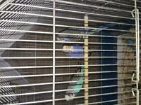 3 budgies for sale!