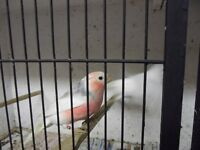 Siberian White Bullfinches cage bread. and Dimorphics for sale
