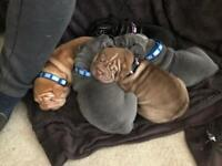 Gorgeous KC registered Shar Pei puppies 🐾 Only 1 girl left🐾 Ready to leave now🐾