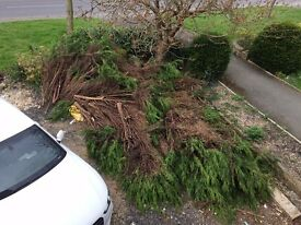 9 conifer tree's chopped down. Handy for firewood / Bonfire. Free to collect