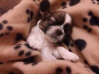 Lovely Shih Tzu Puppies only 1 Boy left