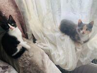Persian / persian mixed breed kittens
