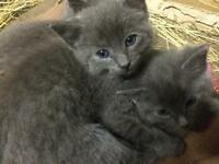 Fluffy mainecoon cross kittens