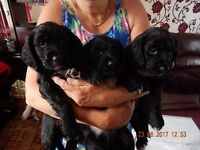 Cocker Spaniel Puppies (Not Show Type) KC Registered 3 x Black left (Ready for new homes 14/07/17)