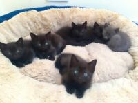 1 Dark Ragdoll kitten left - Ready to go 3rd June