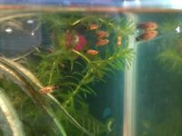 Now gone but more available in a few weeks - baby Platy fish free to a good home!