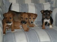 Lakeland X Parson Russell Pups for Sale