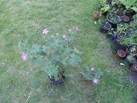 Plants for sale-Hardy geranium plants (pink flowers) in 16 cm pot