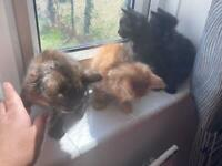 3 LEFT Female kittens for sale - Tabby Ginger and Black/ginger READY TO GO NOW