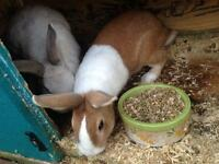 Apricot male Dutch rabbit bunny