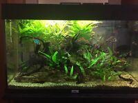 Odessa Barbs + Green Tiger Barbs + Plants + Wood for sale