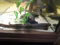 large teugelsi bichir ( Polypterus teugelsi ) 13 inches long - rare tropical fish
