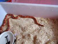 male masque het bloodred corn snake