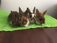 Mini Rex Tux Litter Beautiful Rabbits