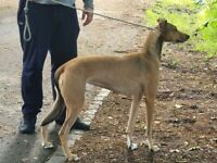 Deerhound Weaton greyhound x saluki coli greyhound pups for sale