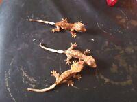 baby crested geckos 8 weeks old