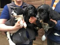 Labrador x Border collie puppies for sale