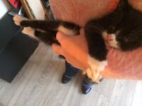 BENGAL CROSS KITTEN MALE - GORGEOUS READY TO LEAVE