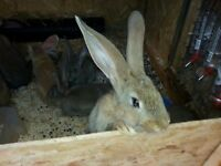 Baby continental giant rabbits [ready now] £75