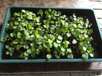 Holyhock seedlings around 100 which germinated about a couple of weeks ago,...amazing colour