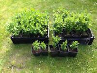 29 Buxus sempervirens