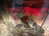 1 royal python
