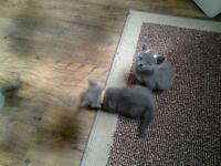 Blue and two cream British short hair kittens gccf reg active