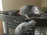 baby african greys for sale last 3 for this season lovely birds £750 each bedfordshire