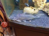 Silver jumping catfish