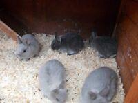 stunning litters of netherland dwarf ready now