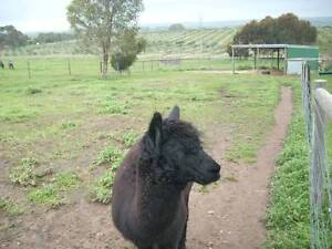 ALPACAS FOR THE STARTER Nairne Mount Barker Area Preview