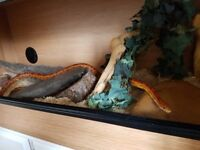 Corn Snake and vivarium set up