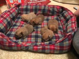 Pomeranian tea cup puppies